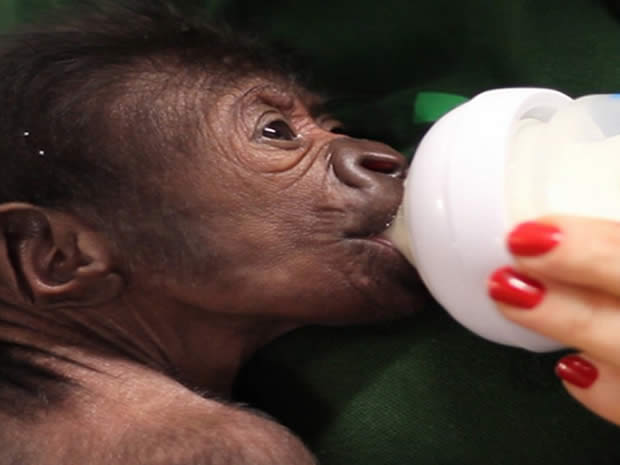 A baby gorilla was born at Bristol Zoo, following a rare emergency caesarean.